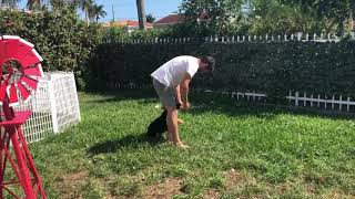 8 weeks old German Shepherd puppy by his first obedience training - off leash heal with 8 weeks