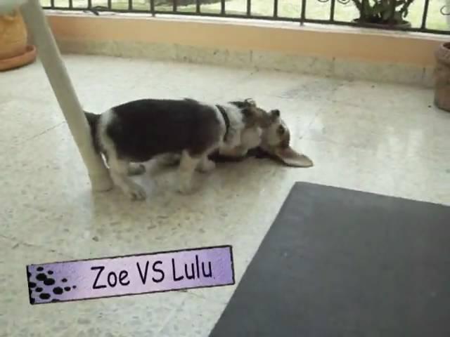 Beagle Fight (two sisters) Zoe vs Lulu