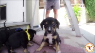 Dachshund Rescue Of Los Angeles Puppies