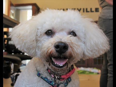 Bo, a male  Bichon Frise at Muttville