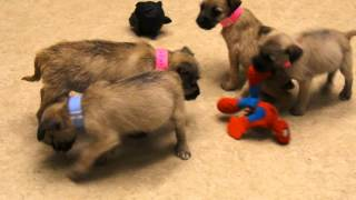 Border Terrier Puppies For Adoption At West Valley Humane Society!
