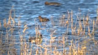 Amerikansk Pibeand (Anas americana). 30. nov. 2012. Hornbæk Enge, Randers, Denmark