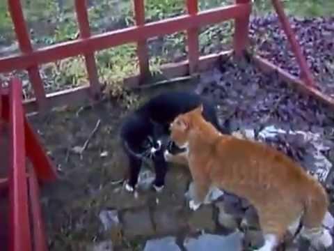 Hai con mèo đánh nhau chất lừ như xi nê, Mèo đánh nhau cực chất