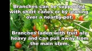 Growing Cherry Tomatoes In Containers