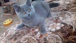красивый британский котенок Боракай, 3 месяца