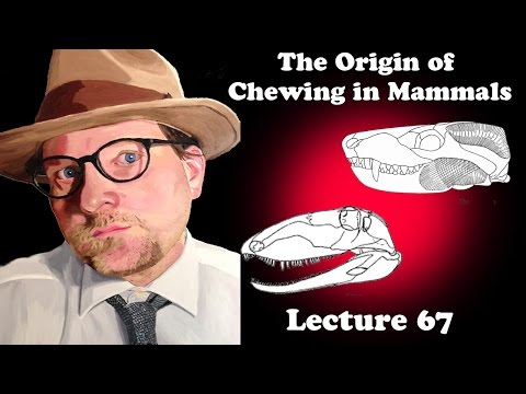 Lecture 67 The Origin Of Chewing In Mammals