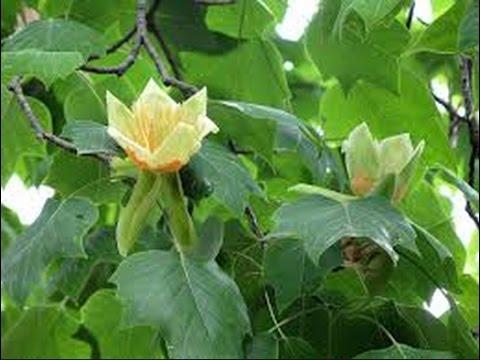 Как цветёт гигантское  тюльпановое дерево. Лазаревский район. Lazarevskoe SOCHI RUSSIA