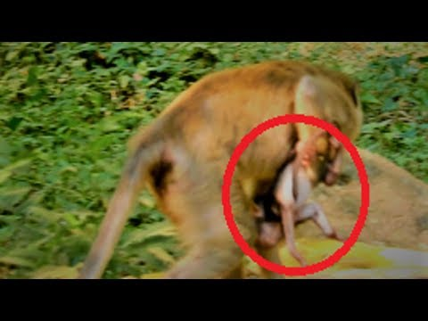 1-16-19 How Duchess Carry Her Baby New Born/Young Mum Needs to Train From Queen/Poor Mum Monke..
