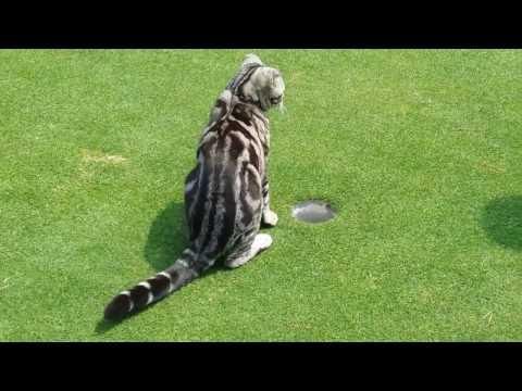 골프 퍼팅 순간 나타나  방해하는 황당한 고양이 애교 (Golf Cat)
