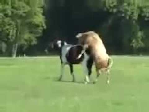 KRISJAYANTO The Funny Horse And Bull Mating