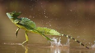Correr sobre el agua -Lagarto basilisco
