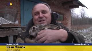 Домашний заяц(Заяц, которого спас и вырастил Иван Филюк, прижился в неволе, а теперь любит смотреть телевизор. Животное..., 2016-12-17T20:24:18.000Z)