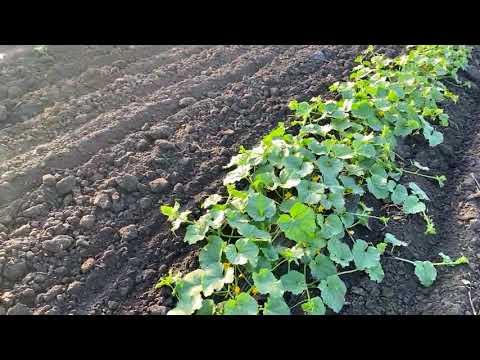 Выращивание дыни на капельном поливе.  Арбуз на суходоле.