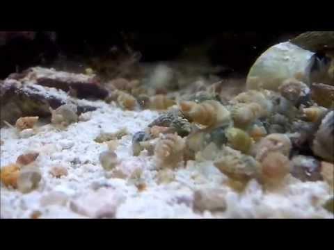 Nassarius Snail feeding Horde
