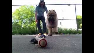 Train Puppy Using Toy As Reward. Peter Caine Dog Training Brooklyn Nyc