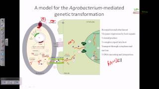 Agrobacterium mediated gene transformation in plants