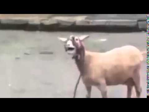 You Touch me tralala goat version