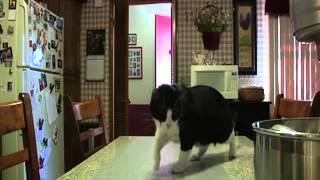 Кота отучают ходить по столу с помощью электрического коврика. Но он не сдается :))