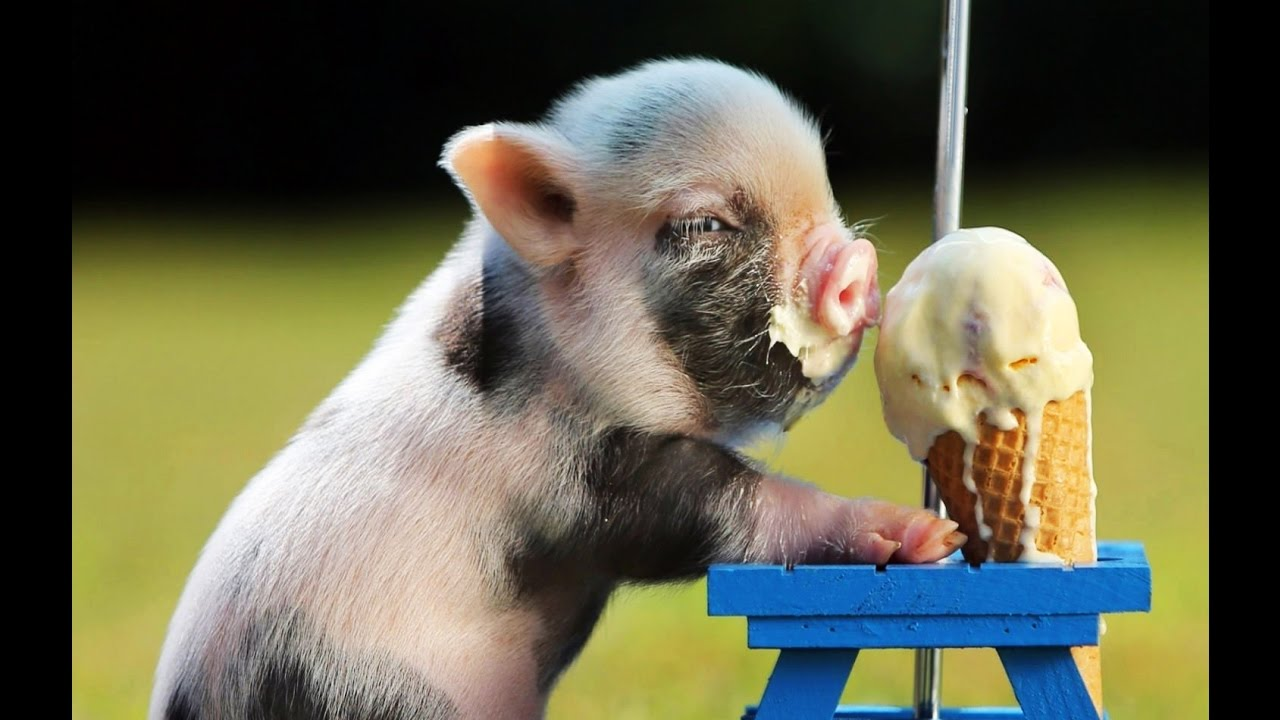 TOP 10 CUTEST MINI PIG