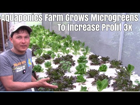 Aquaponics Farm Grows Microgreens to Increase Profit 3x
