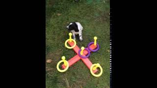Русского спаниеля щенки от рабочих собак