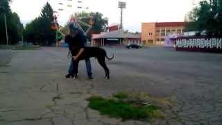 Что нужно уметь на выставке собак - немецкий дог