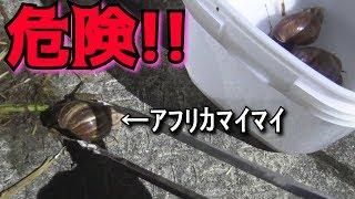 【外来種】触ると死ぬ!死のカタツムリを捕って食べてみた!