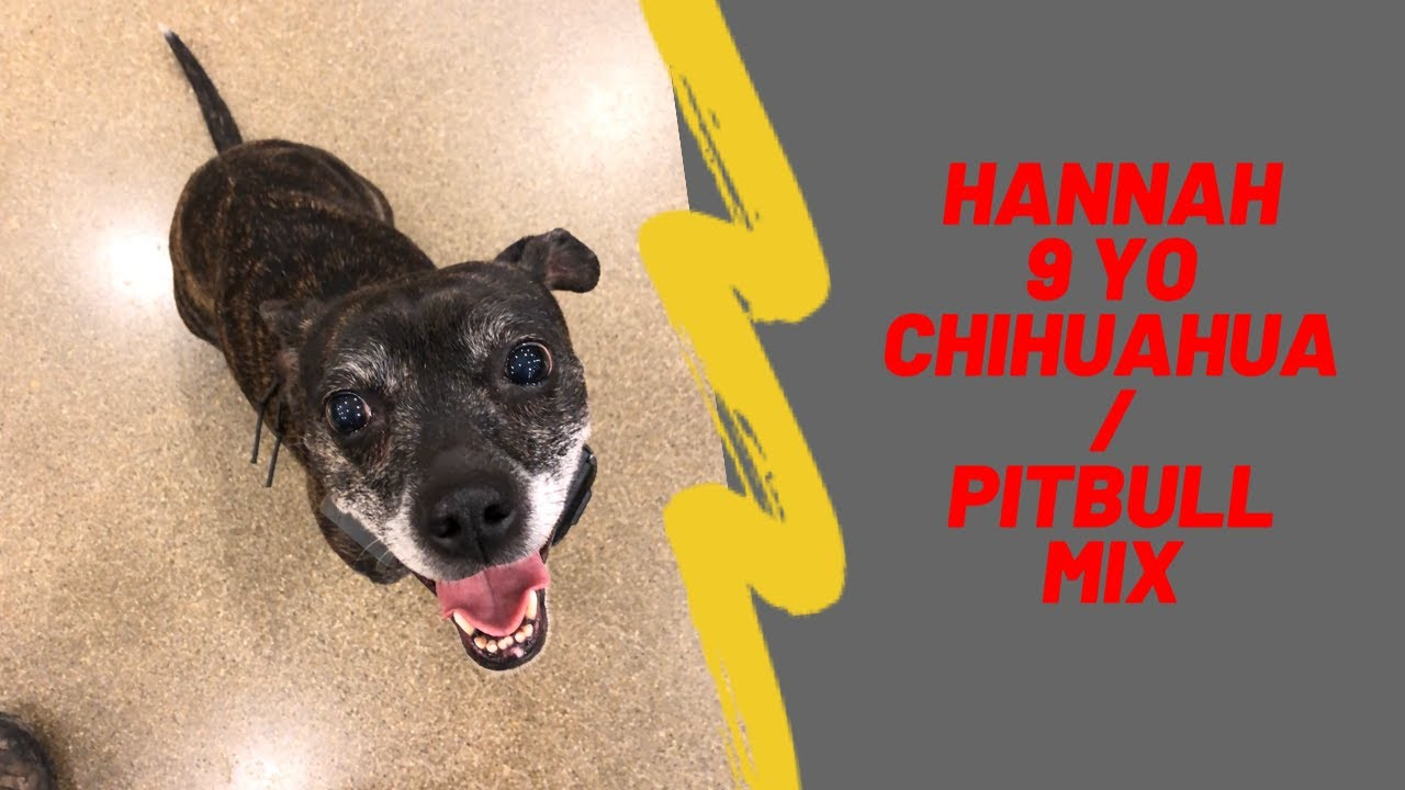 chihuahua pitbull mix puppy