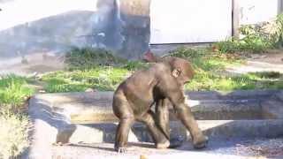 撮影日:2014.11.15 東山動物園、赤ちゃんゴリラのキヨマサ君 2012/11/1...