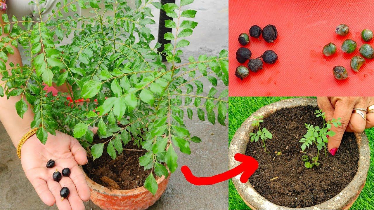 करी पत्ते के पौधे को सिर्फ 4 दिन में सबसे जल्दी उगाने का यह तरीका आपको कोई नहीं बताएगा Curry Leaves