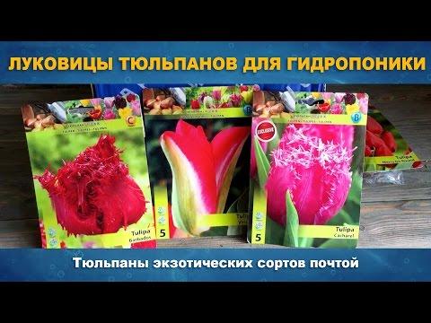 ЛУКОВИЦЫ ТЮЛЬПАНОВ ДЛЯ ГИДРОПОНИКИ - Луковицы экзотических сортов для выгонки тюльпанов почтой