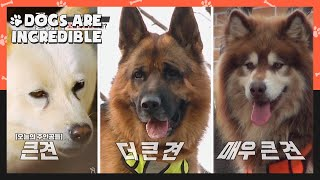 Today's dogs: Big dog, bigger dog, biggest dog (Dogs are incredible)   KBS WORLD TV 201223