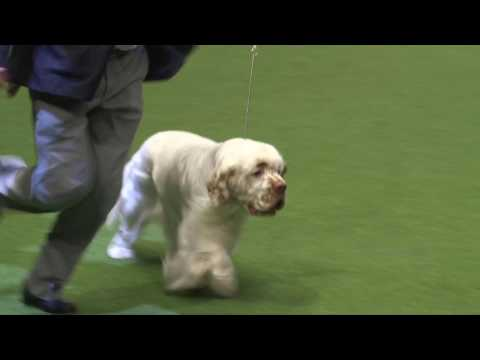 Crufts 2017 | Best of Breed winner Ralph Dunne and clumber s