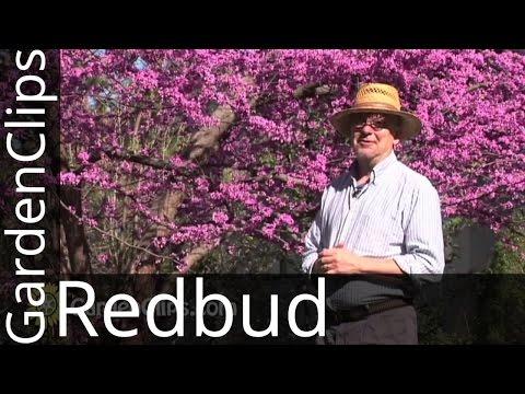 Redbud - Eastern Redbud - Cercis Canadensis - How To Grow Redbud