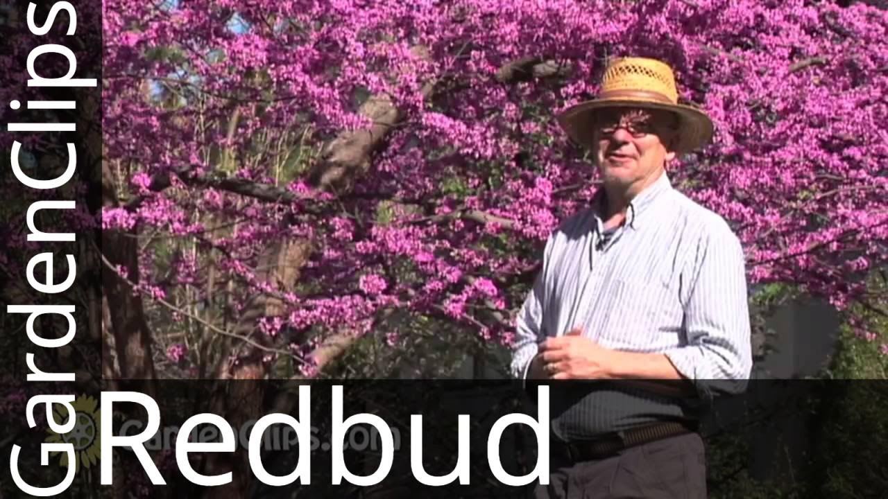 Redbud Eastern Redbud Cercis Canadensis How To Grow Redbud