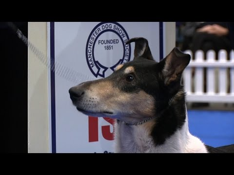 Manchester Dog show 2017 - Pastoral group - Shortlist