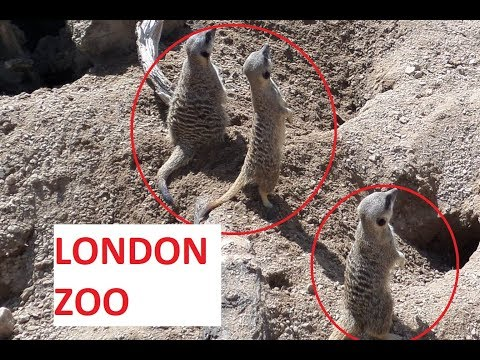 Смешные cурикаты. Funny meerkats. London Zoo //KATUSHA