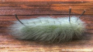 Shaggy Dog Caterpillar -   Spotted Apatelodes Moth