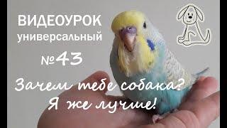 """🎧 Учим попугая говорить. Урок № 43: """"Зачем тебе собака? Я же лучше!"""""""