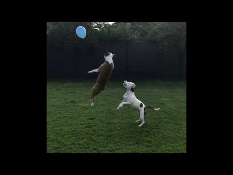 pitbull balloon party - pitbulls chasing balloons - balloon jumping