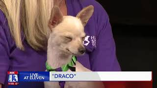 DRACO - Fox 13 Best Friend from the Humane Society of Utah