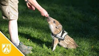 Dieses Wildschweinbaby macht auf Kommando