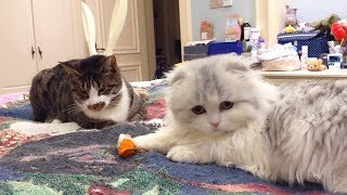 【李喜貓】有些猫表面看起来老实,背地里却总欺负小猫,最后人家叫来了家长