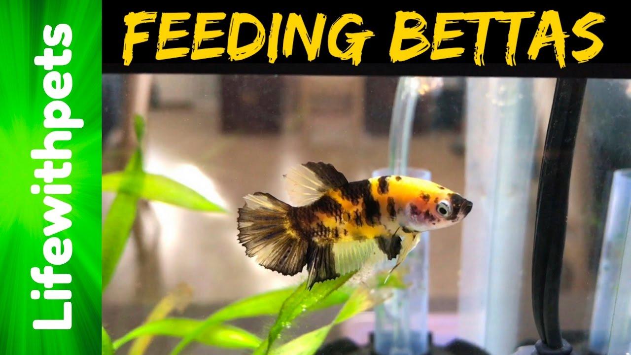 Feeding betta fish