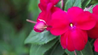 Searles Garden Products   How to Grow Impatiens #Australia #garden #flowers #searles #pottingmix #im