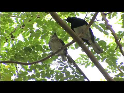 Magpie Robin mother feeds her chick