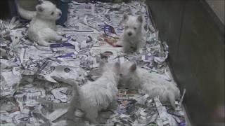 シェルムが生まれた犬舎のパピーたち。 そしてシェルムの妹弟たちです。...
