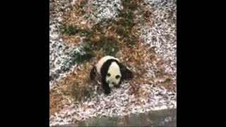 Panda can't get enough of the snow