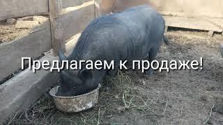 Продано! Продажа свинки и поросят