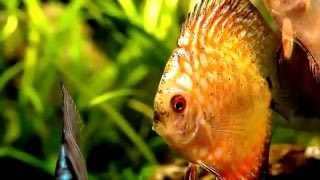 DISCUS Wonderful FISH HD Рыба ДИСКУС